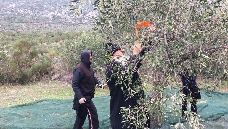 Ο Μητροπολίτης Θηβών στο μάζεμα ελιών της Ι. Μονής Οσίου Λουκά (ΦΩΤΟ)