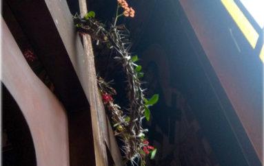 Η Μητρόπολη Άρτης για την άνθιση ακάνθινου στεφάνου σε Ενορία